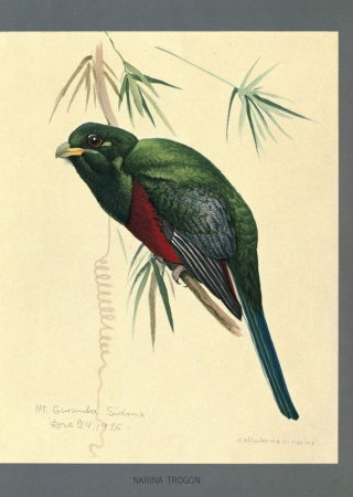 "Apaloderma narina painted by Louis Agassiz Fuertes from ""Album of Abyssinian birds and mammals"""