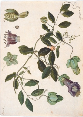 [Polemoniaceae], watercolor on paper by Juan de Dios Vicente de la Cerda (fl.1787–1803) | The Torner Collection of Sessé and Mociño Biological Illustrations, Accession 6331.1436, courtesy of Hunt Institute for Botanical Illustration, Carnegie Mellon University, Pittsburgh, PA.