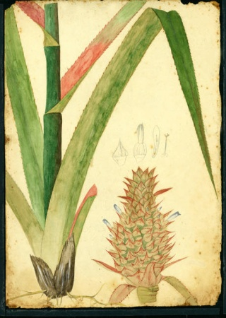 Ananas comosus | Stahl Collection, U.S. National Herbarium, National Museum of Natural History, Smithsonian Institution