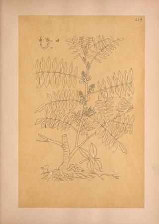 """Indigofera anil var. polyphylla from """"Calques des dessins de la Flore du Mexique, de Mociño et Sessé qui ont servi de types d'Espèces dans le systema ou le prodromus."""""""