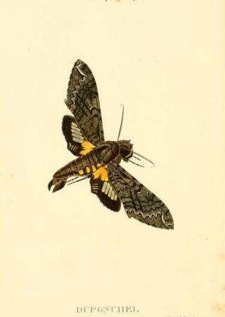 """Illustration of Amphonyx duponchel from """"Centurie de lépidoptères de l'île de Cuba."""""""