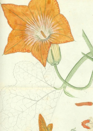Cucurbita moschata | Stahl Collection, U.S. National Herbarium, National Museum of Natural History, Smithsonian Institution