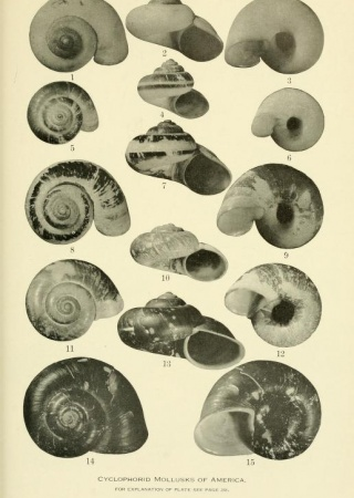 "Plate 23 from ""The cyclophorid operculate land mollusks of America"""