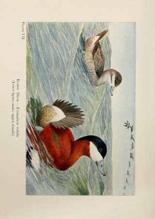Ruddy ducks (Erismatura rubida) in water painted by Louis Agassiz Fuertes, Birds of the Rockies. Biodiversity Heritage Library.