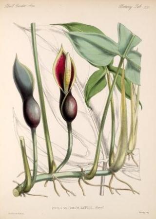 Philodendron affine | Biologia Centrali-Americana, Botany v.5