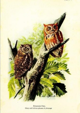 "Screech owl painted by Louis Agassiz Fuertes from ""Handbook of Birds of Eastern North America"""
