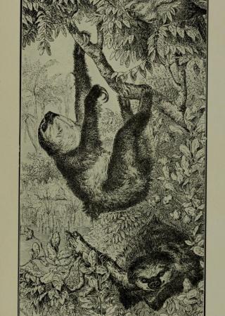 """El ay-ay ó Bradypus didactylus from """"Excursión científica á Viñales"""""""