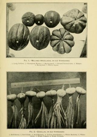 """Melones y cebollas en sus variedades from """"El cultivo de legumbres en Puerto Rico."""""""