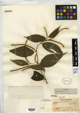 Piper armatum type specimen from Smithsonian Institution, National Museum of Natural History, Department of Botany