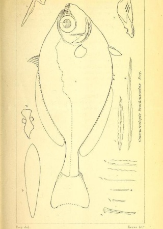 "Palometa oropel (Grammicolepis brachiusculus) from ""Poey's ichthyological memoirs."""