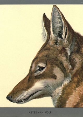 Abyssinian wolf (Canis simensis) painted by Louis Agassiz Fuertes, Album of Abyssinian birds and mammals. Biodiversity Heritage Library.