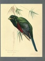 "Narina trogon painted by Louis Agassiz Fuertes from ""Album of Abyssinian birds and mammals"""