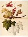 Cheirostemon platanoides [Chiranthodendron pentadactylon Larreat, Sterculiaceae], watercolor on paper by an unattributed expedition artist | The Torner Collection of Sessé and Mociño Biological Illustrations, Accession 6331.0172, courtesy of Hunt Institute for Botanical Illustration, Carnegie Mellon University, Pittsburgh, PA.