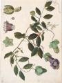 [Polemoniaceae], watercolor on paper by Juan de Dios Vicente de la Cerda (fl.1787–1803)   The Torner Collection of Sessé and Mociño Biological Illustrations, Accession 6331.1436, courtesy of Hunt Institute for Botanical Illustration, Carnegie Mellon University, Pittsburgh, PA.