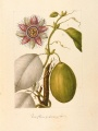 Passiflora quadrangularis [Passiflora quadrangularis Linnaeus, Passifloraceae], watercolor on paper by an unattributed expedition artist | The Torner Collection of Sessé and Mociño Biological Illustrations, Accession 6331.1807, courtesy of Hunt Institute for Botanical Illustration, Carnegie Mellon University, Pittsburgh, PA.