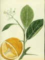 Bitter orange (Citrus x aurantium) painted by Agustin Stahl | U.S. National Herbarium, National Museum of Natural History, Smithsonian Institution
