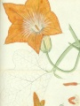 Watercolor of Cucurbita moschata by Agustin Stahl  | U.S. National Herbarium, National Museum of Natural History, Smithsonian Institution