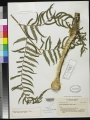 Type specimen of Cyathea albidopaleata from the Smithsonian Institution, National Museum of Natural History, Department of Botany