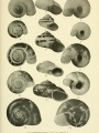 """Plate 23 from """"The cyclophorid operculate land mollusks of America"""""""