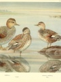"""Gadwall ducks by Louis Agassiz Fuertes from """"A Natural History of Ducks"""""""