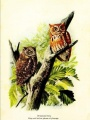 "Screech owls painted by Louis Agassiz Fuertes from ""Handbook of Birds of Eastern North America"""