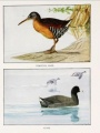 "Top image: Virginia rail; Bottom image: coot. Pintados por Louis Agassiz Fuertes en ""American Game Bird"""
